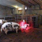 Le cochon Une histoire bretonne