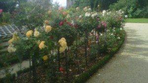 rose, thabor, roseraie, municipalité rennaise, jardin public,