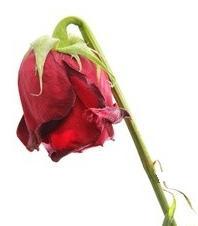 rose-fanee