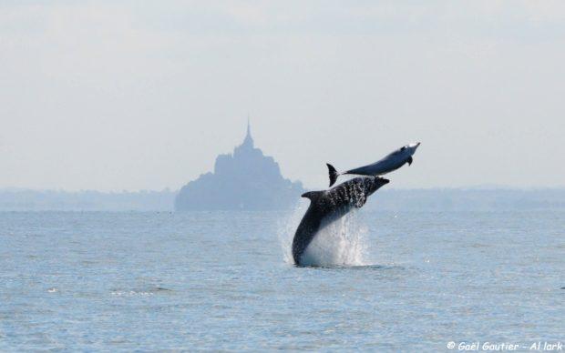 dauphins, saint-malo, al-lark, cancale