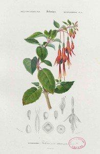Fuchsia Orbigny