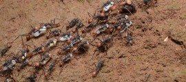 colonies fourmis