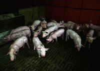 cochons animaux droits