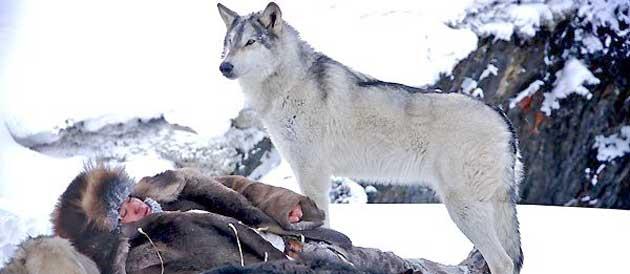Le dernier loup jean-jacques annaud