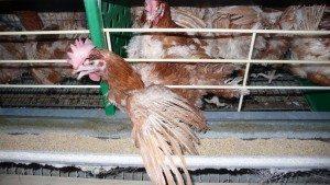 poules-pondeuses-2010-France--34 L214