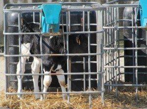 veaux en cage animal éthique