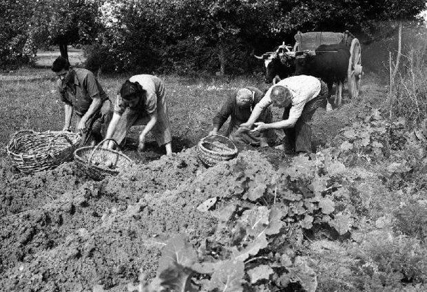 Recolte pommes de terre 1960 barmay charles unidivers - Date recolte pomme de terre ...