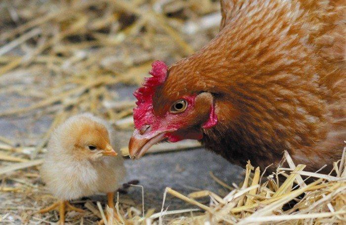 Éveil langage bébé, Poules poulettes et cie Nantes