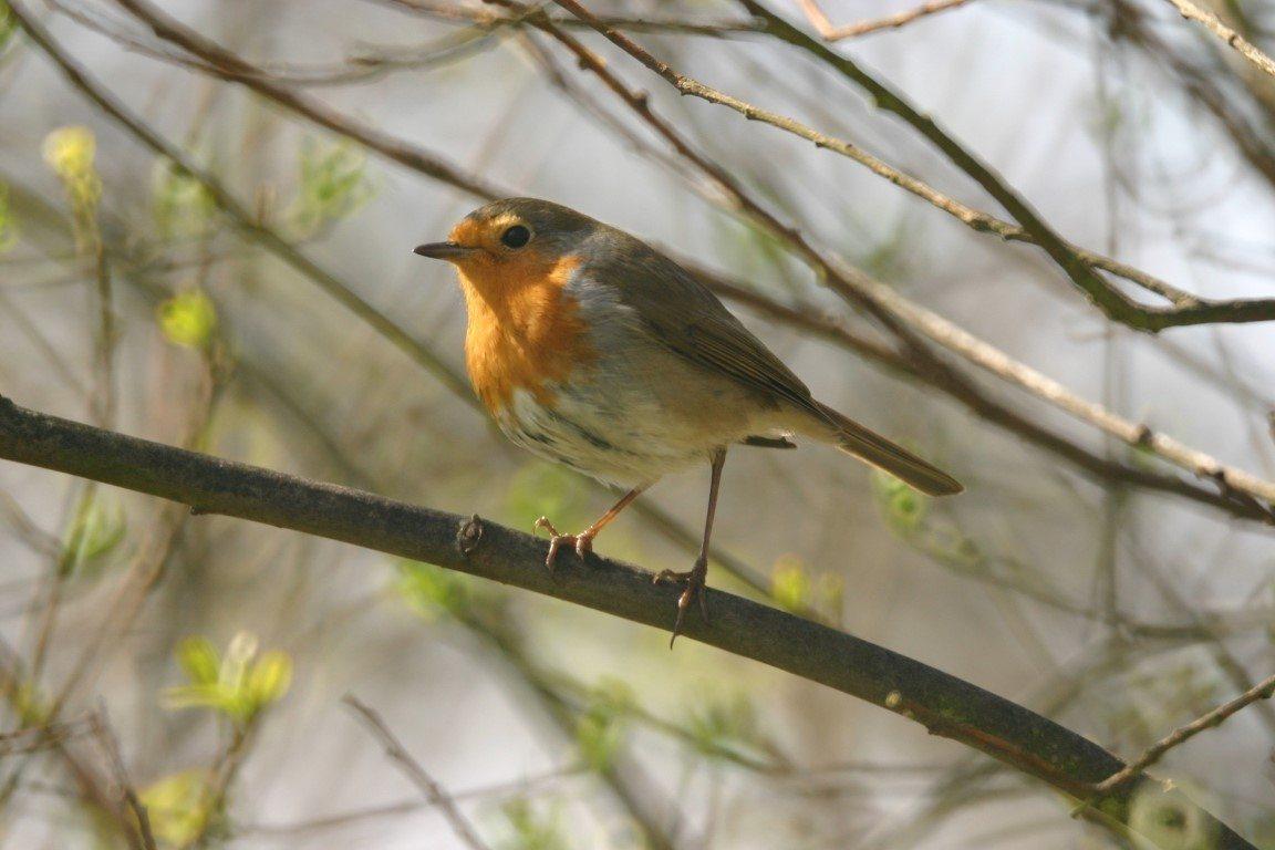 Initiation au chant des oiseaux du bocage Hambye