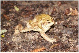 Observation nocturne des amphibiens Pamproux