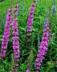 Plantes et fleurs des chemins creux et boisés Saint-Pair