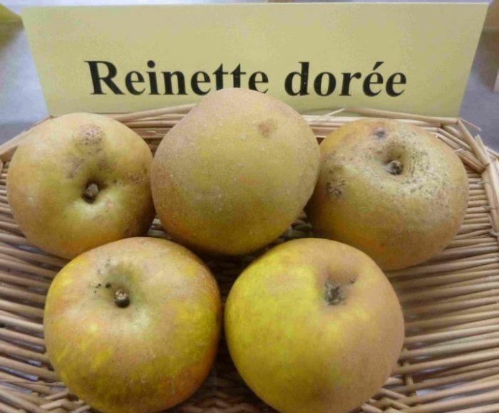 pomme-reinette-doree