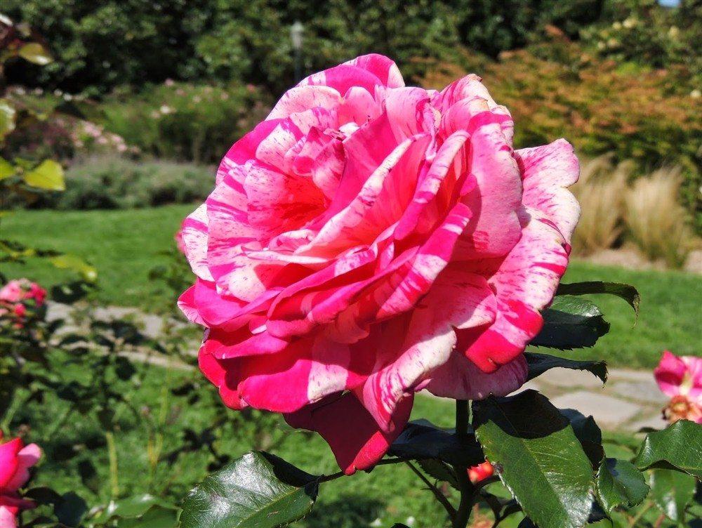 Semaines de la rose aux Jardins des Renaudies Colombiers-du-Plessis