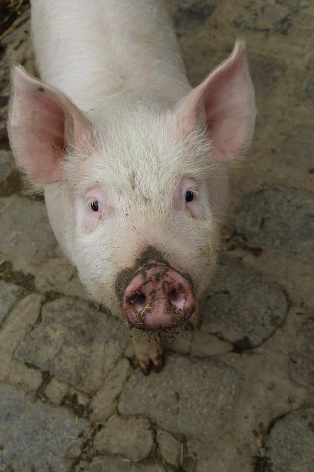 cochon_tous-a-la-ferme