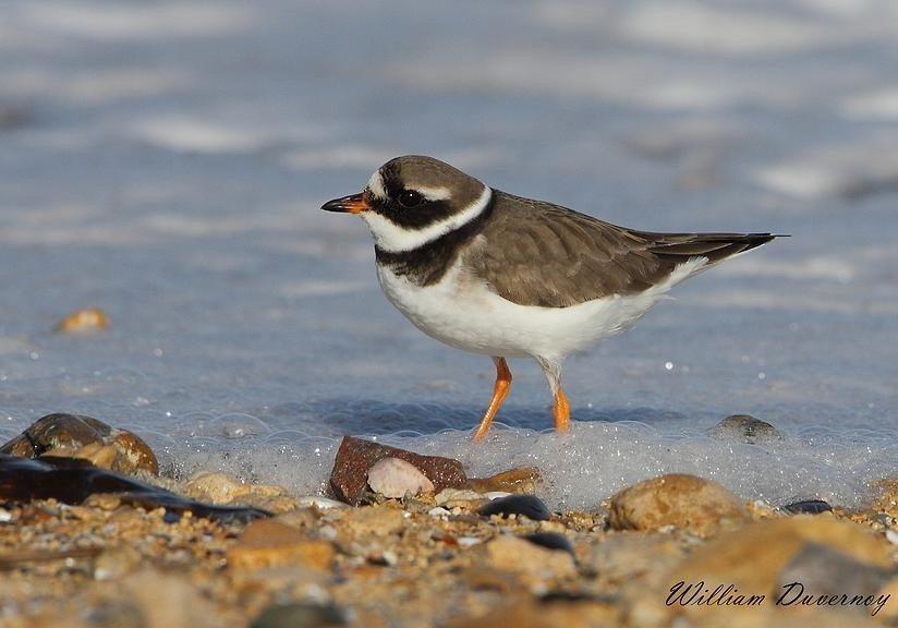 Migration en action sur les marais de Pennedepie Cricqueboeuf