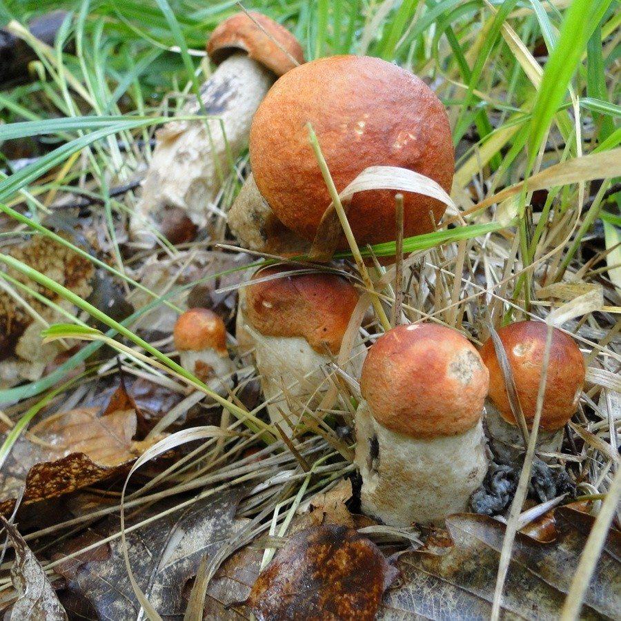 Les champignons de la forêt du Gâvre Le Gâvre