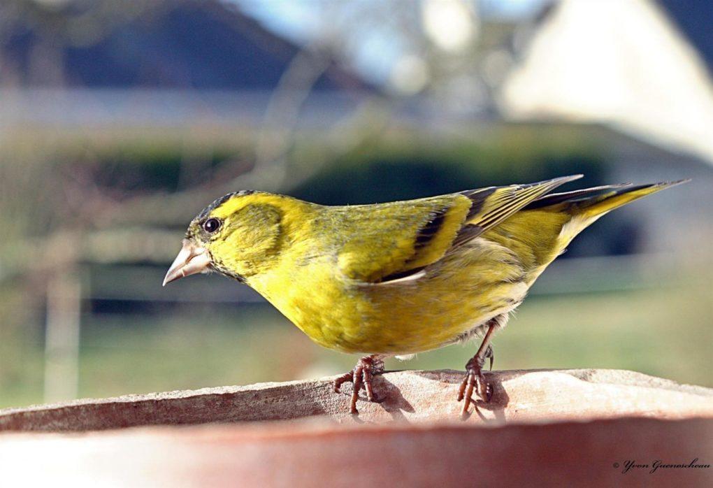 Préparation pour l'hiver des oiseaux Saumur