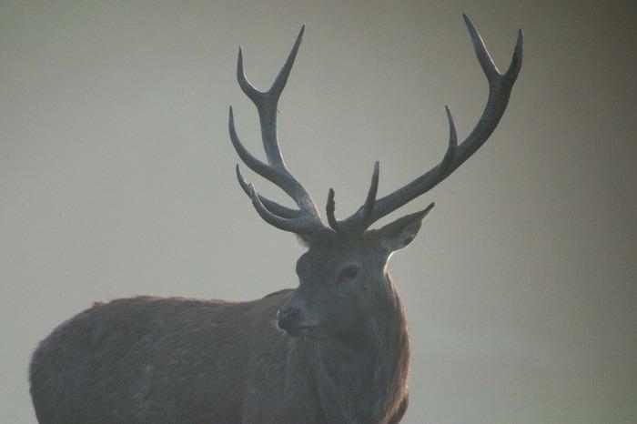 Brâme du cerf en forêt de Fontainebleau