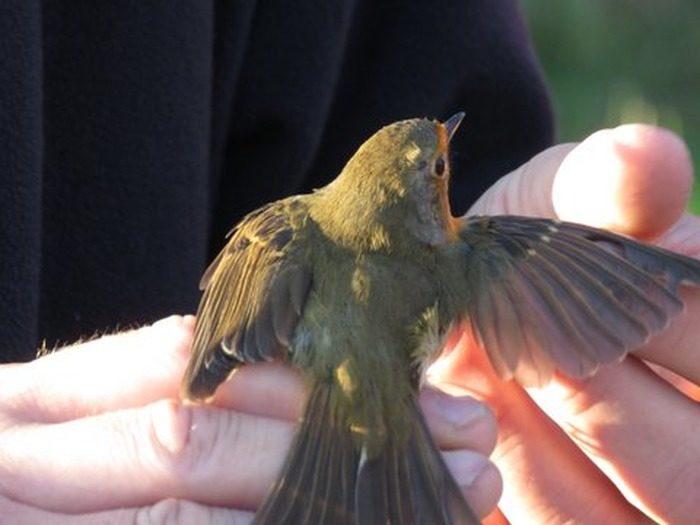 Séance de découverte des oiseaux par le baguage