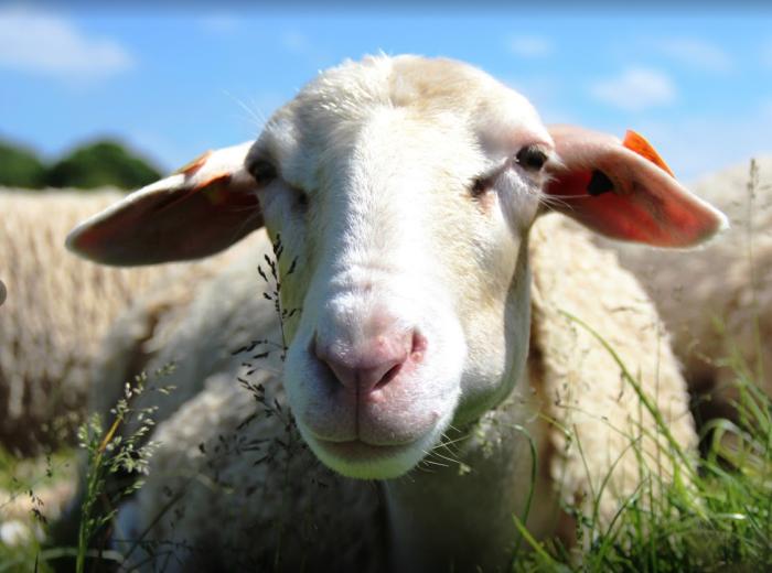 SORTIE NATURE ET PATRIMOINE : LE MONDE AGRICOLE UN ELEVEUR DE BREBIS SAINT-ALBAN
