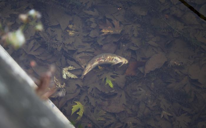 poisson mort rennes