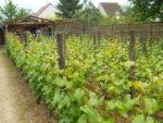 Découverte de la vigne de Saint-Martin avec dégustation de Ginglet 2018 Vignoble de la commune libre de Saint-Martin