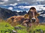 Exposition - Les vaches
