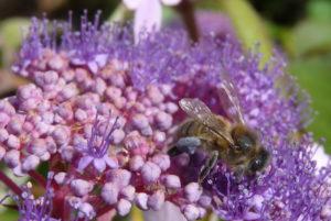 Atelier pour découvrir un patrimoine vivant mais en danger : l'abeille noire Parc du château des Ravalet