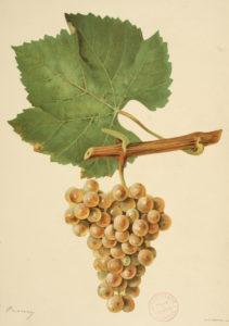 Vignes et vins dans les collections Bibliothèque patrimoniale et d'études