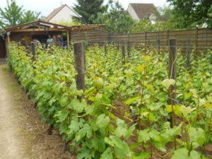 Visite libre du vignoble de la Commune Libre de Saint-Martin Vignoble de la commune libre de Saint-Martin