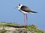 Découverte ornithologique : les oiseaux du Bassin au cours des saisons Andernos-les-Bains   2021-01-19