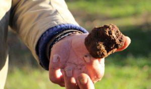 Cavage de truffes noires du Berry Lapan