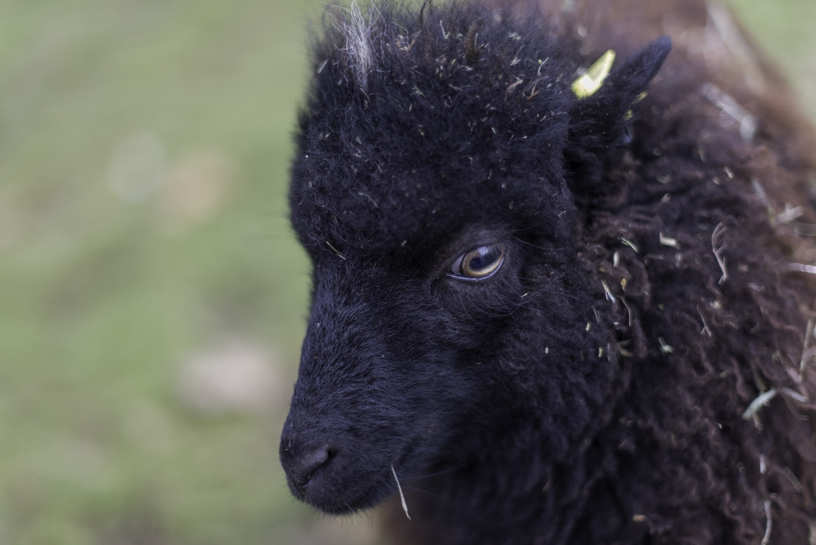 La tonte des moutons à la Ferme de Paris Ferme de Paris Paris