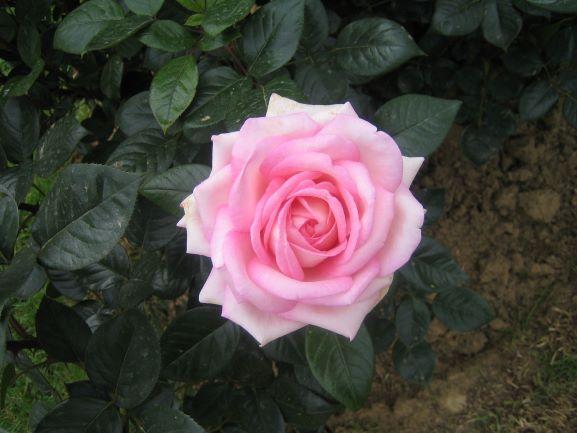 L'étonnante histoire de la rose Bibliothèque de la maison du jardinage Paris