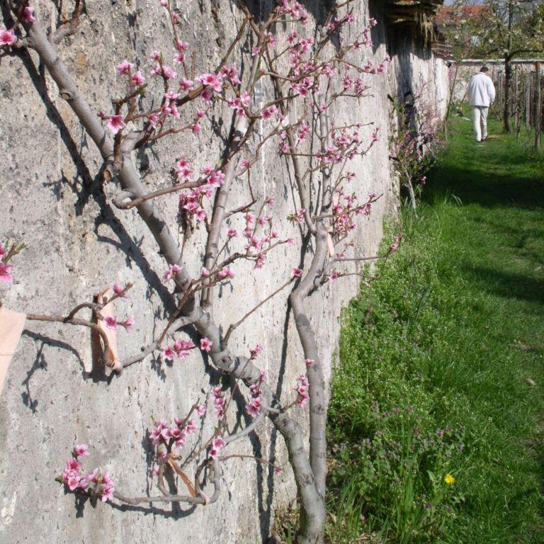 Balade botanique et poétique aux murs à pêches Hôtel de ville de Montreuil MONTREUIL