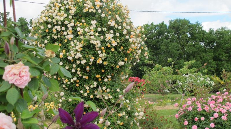 Jardin Pimpinellifolia Saint-Aubin-de-Cadelech