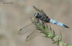 Initiation à la reconnaissance des libellules Maison Paris Nature Paris
