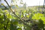 Fascinant week-end vignobles et découvertes : Ampéolographie avec le champagne PIERRE Laurent Saulchery