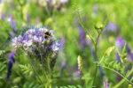 Semer des engrais verts pour couvrir son sol Maison du Jardinage - Pôle ressource Jardinage Urbain Paris